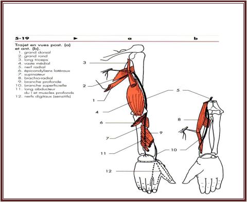 le Nerf radial anatomie De l'appareil locomoteur tome 2 Michel Dufour page 338