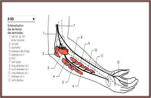 Nerf radial anatomieDe l'appareil locomoteur tome 2 Michel Dufour page 342