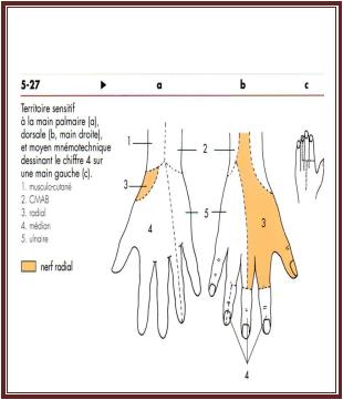 le Nerf radial anatomie de l'appareil locomoteur tome 2 Michel Dufour page 345