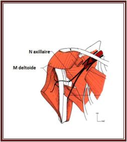 Schéma du trajet du N axillaire du cours nerf axillaire anatomie de l'appareil locomoteur tome 2