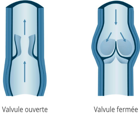 Cours-gratuit-ANATOMIE DESCRIPTIVE valvules de veines