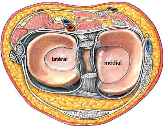 Les menisques fibrocartilage