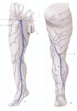 Les vaisseaux lymphatiques de la jambe et de la cuisse