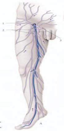 les vaisseaux lymphatiques gluteaux superficiels