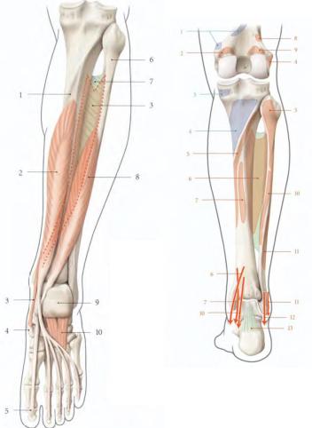 Cours-gratuit-Le muscle long flechisseur de l