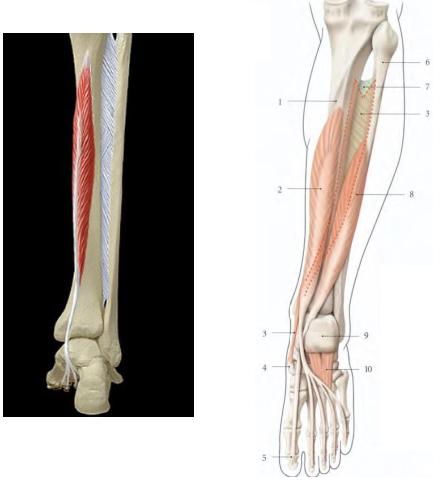 Cours-gratuit-Le muscle long flechisseur des orteils