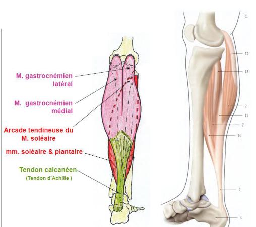 Cours-gratuit-Le muscle triceps sural
