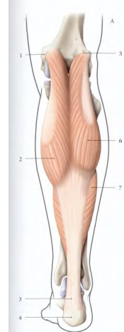 Cours-gratuit-Origine du muscle gastrocnemiens medial et lateral