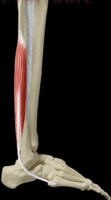 Cours-gratuit-le muscle court fibulaire