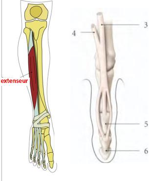 Cours-gratuit-le muscle long extenseur des orteils terminaison