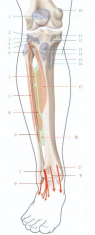 Cours-gratuit-le muscle long extenseur des orteils