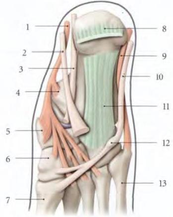 Cours-gratuit-le muscle long fibulaire terminaison Os naviculaire