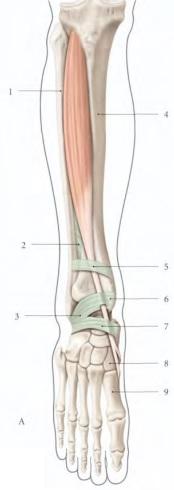 Cours-gratuit-le muscle tibial anterieur 1