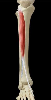 Cours-gratuit-le muscle tibial anterieur